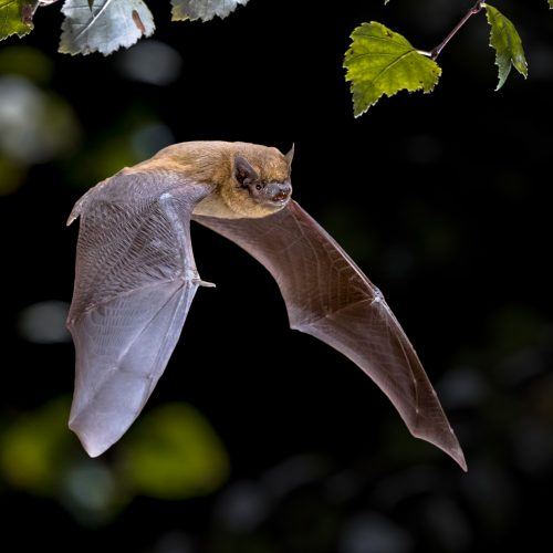 CANCELLED Bat Walk - an Earth Optimism Event