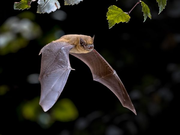 Flying Pipistrelle bat in natural forest background