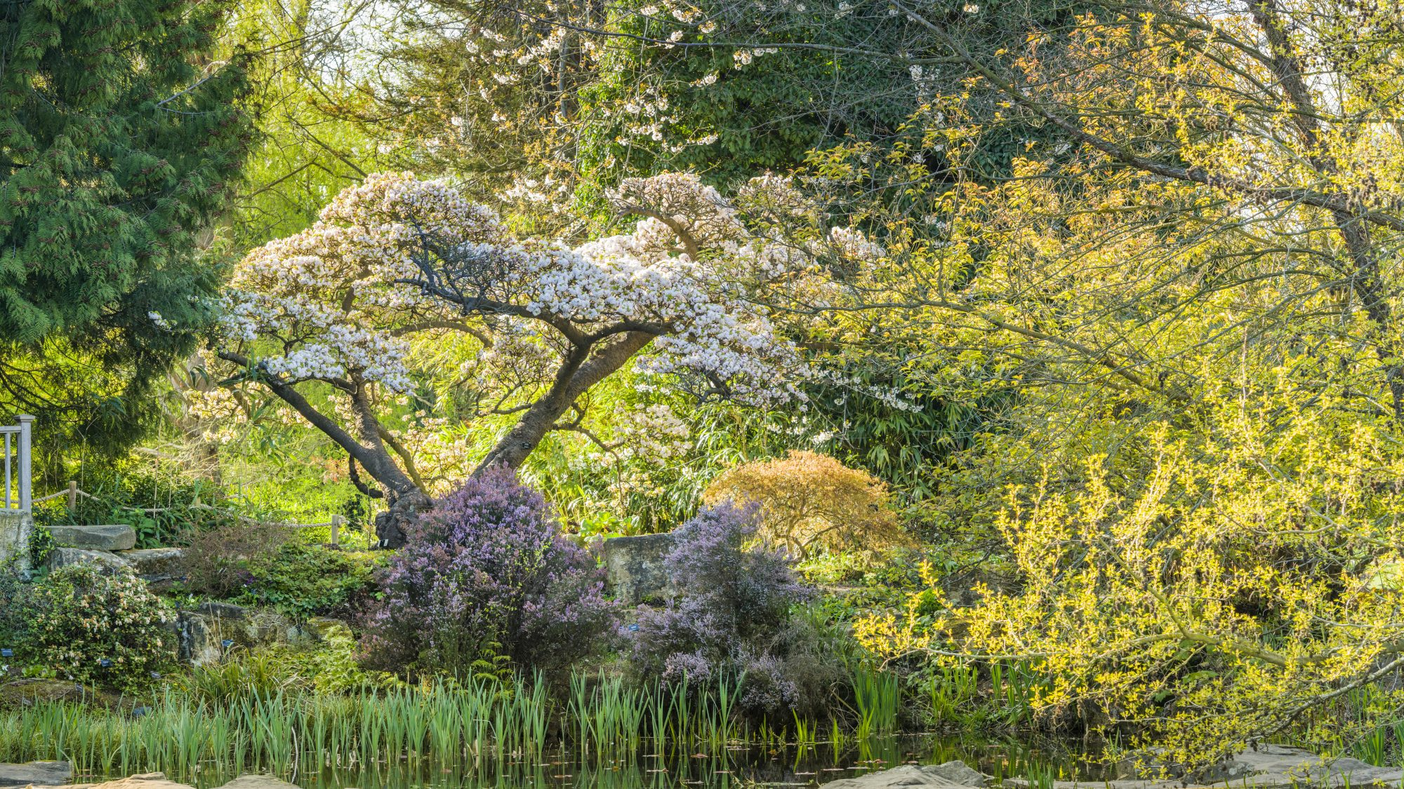 Beautiful spring blossom tree overlooking the lake.