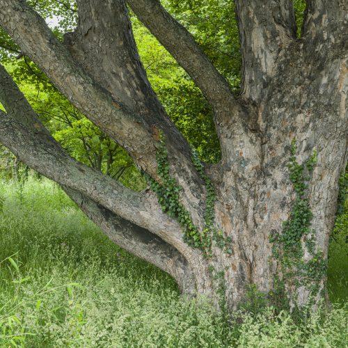Sycamore Maple