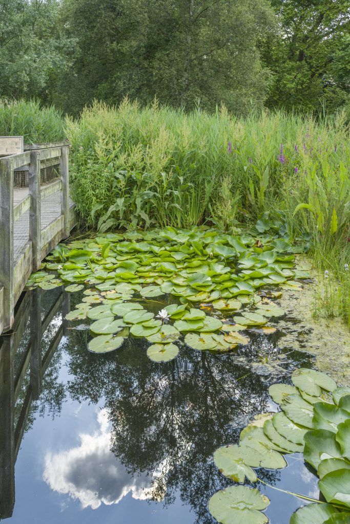 The Fen Display. A body of still water by a bridge, with clouds reflected. Green lily pads on the water are surrounded by tall reeds.