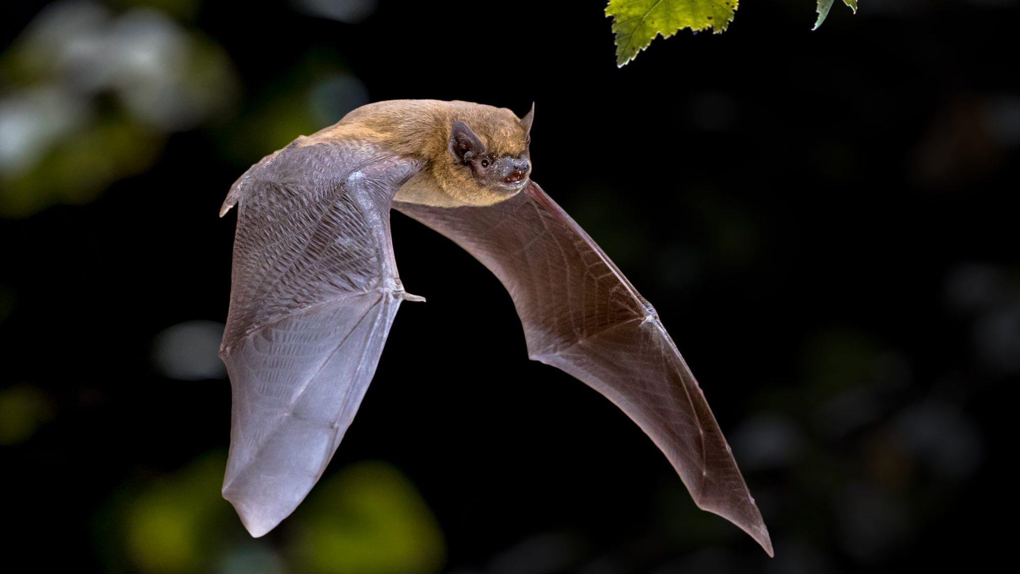 A bat flying.