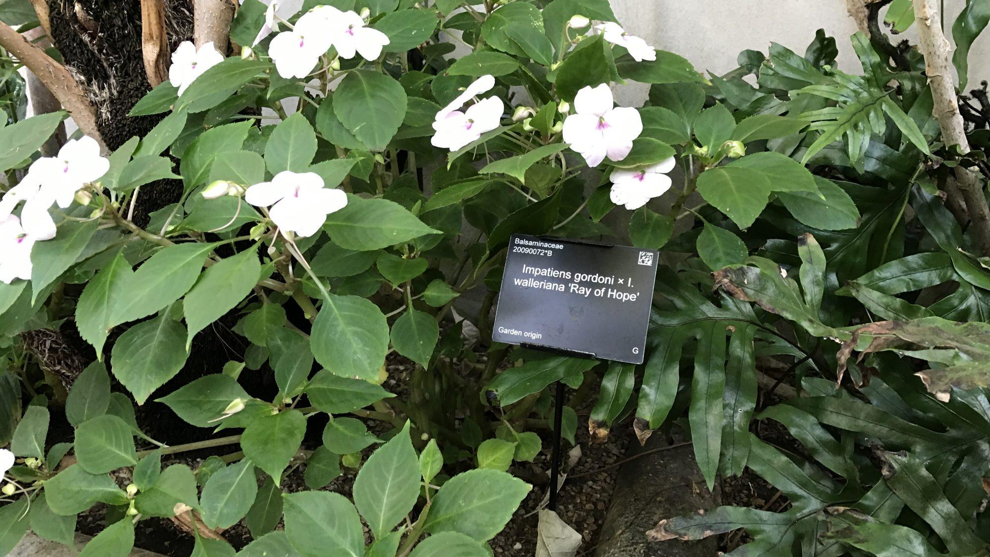 Impatiens gordonii × I. walleriana 'Ray of Hope'