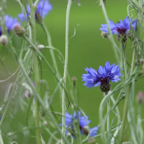 FULLY BOOKED Exploring traditional wildflower names