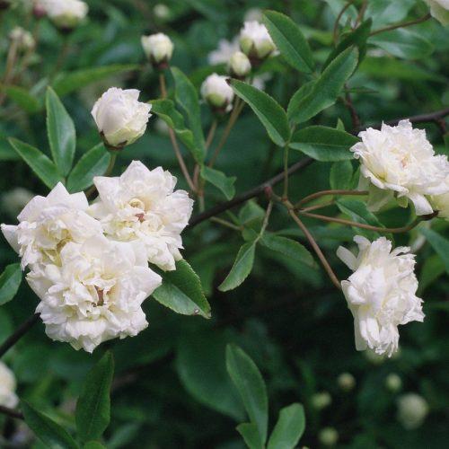 ONLINE COURSE The Regency flower garden