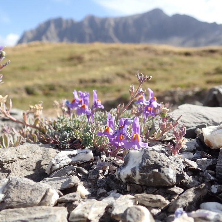 Seeds from the Swiss Alps (2019)