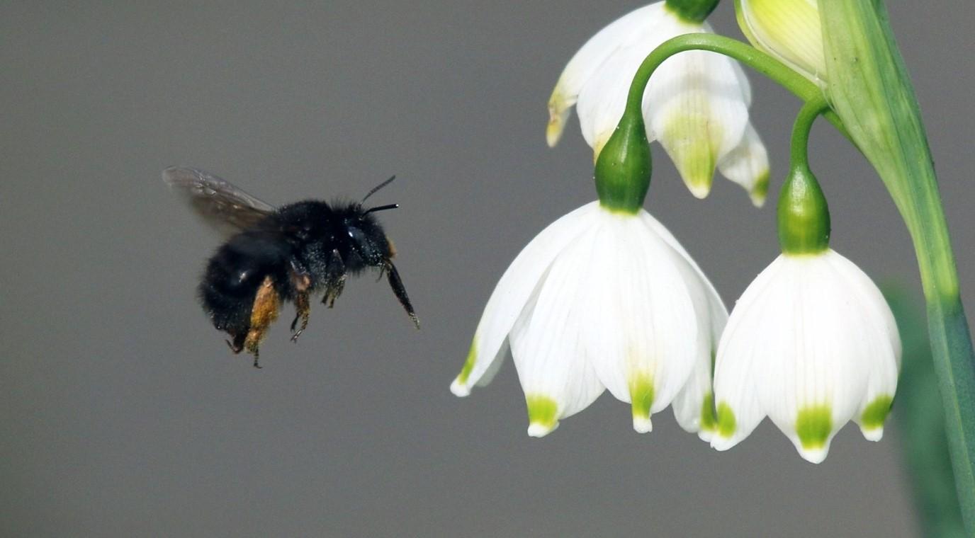 Image Credit: Charles James Sharp - Female Hairy-Footed Flower Bee (Anthophora plumipes) on Spring Snowflake (Leucojum vernum), CC BY SA 3) crop