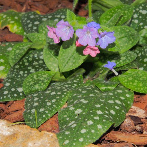 ONLINE COURSE Larksfeet and Stickadoves: exploring traditional garden flower names