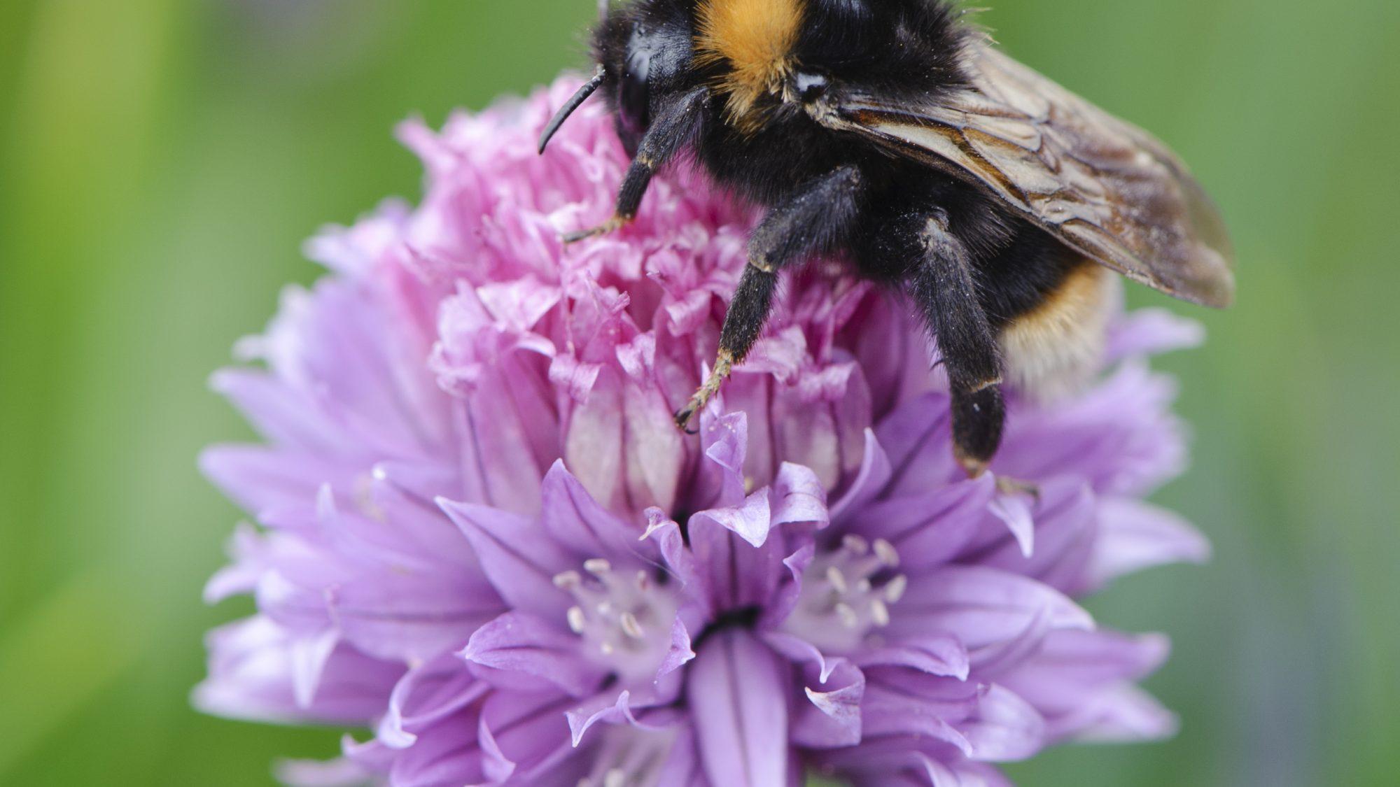 Bumblebee on Allium schoenoprasum