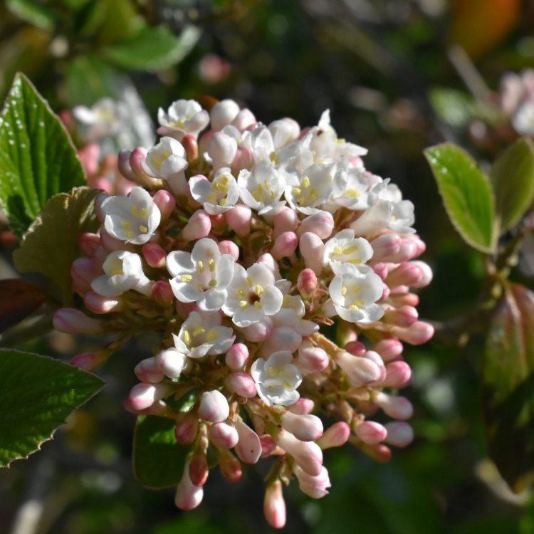 Viburnum 'Chenaultii'