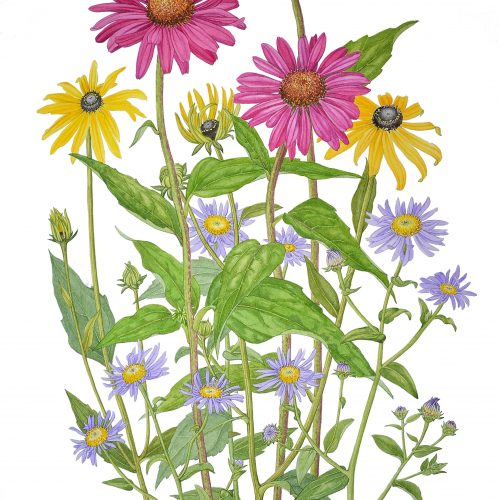 FULLY BOOKED Illustrating late summer daisies