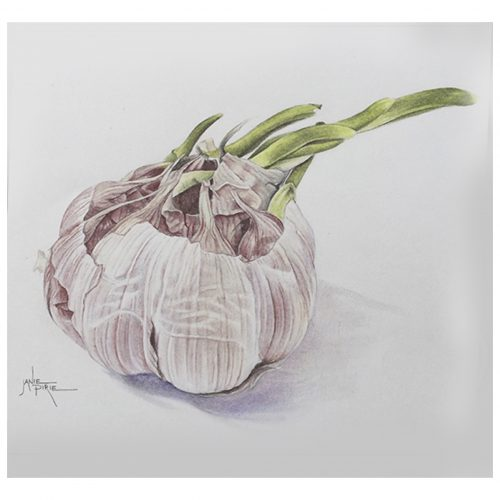 ONLINE COURSE Step by step botanical art: colouring a garlic bulb