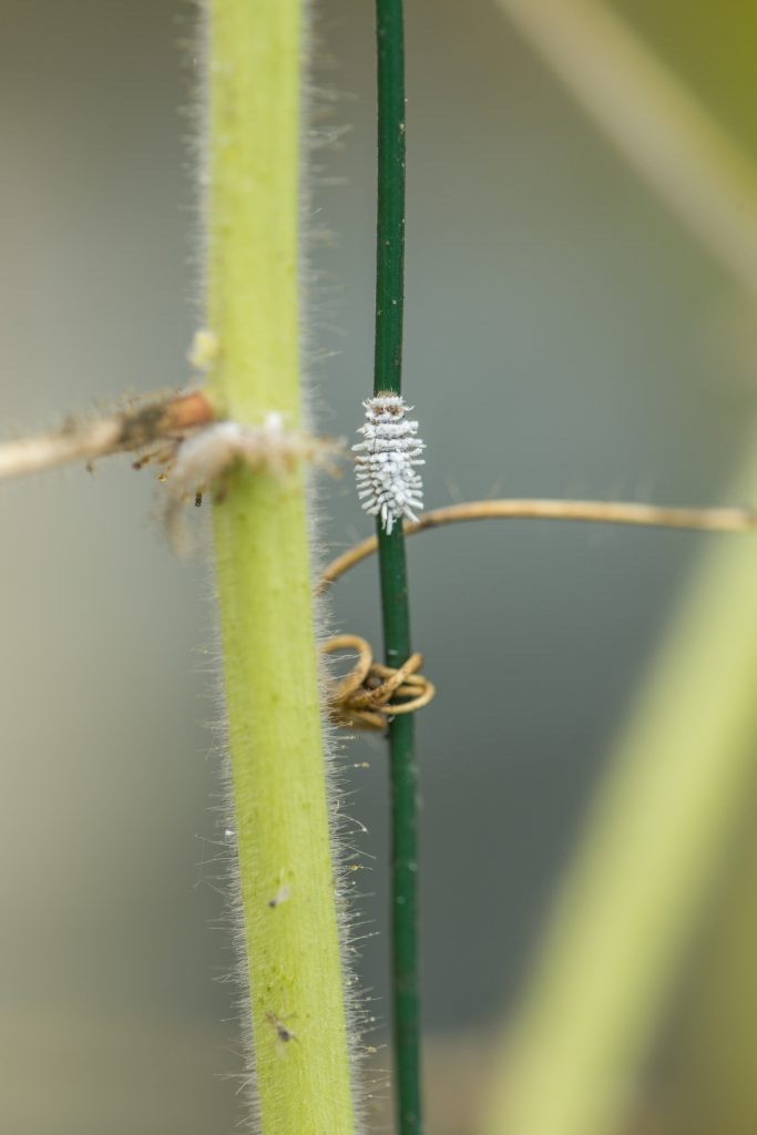 Small white bug on a plant support next to a stem