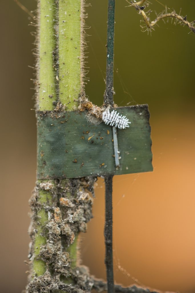 Small white bug making its way towards a plant