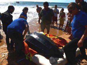Libertação da tartaruga-de-couro Ribau na Praia da Rocha, Portimão