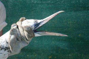 Contenção de um ganso-patola