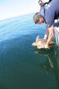 Devolução à natureza de duas tartarugas comuns