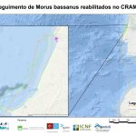 Seguimento de Larus michaelis capturadas nas Berlengas para estudo de movimentos dispersivos