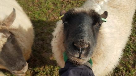 Splodge Sheep