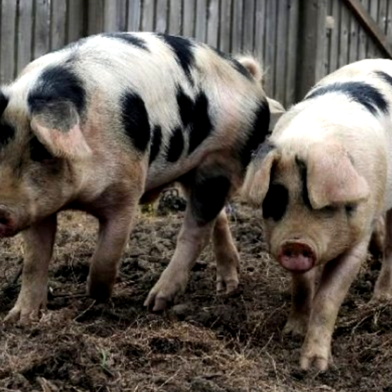 Farsley School Pigs