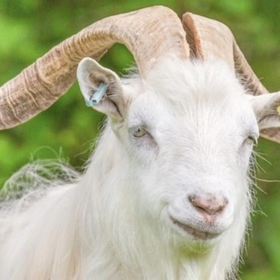 Goat Web Page 1