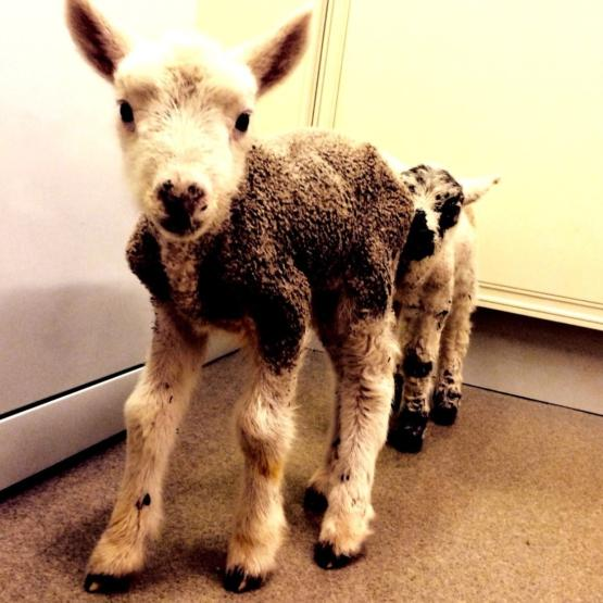 Lambs Final