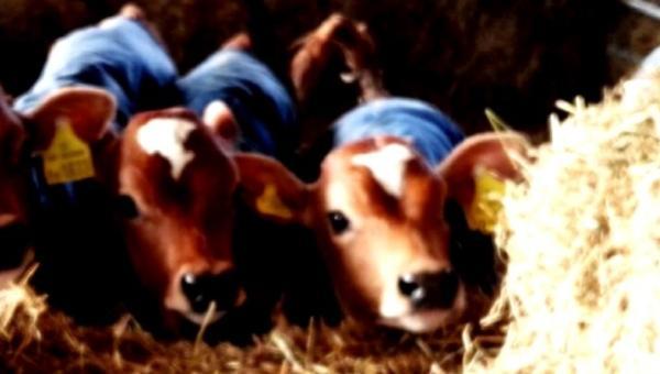 A Calves Final