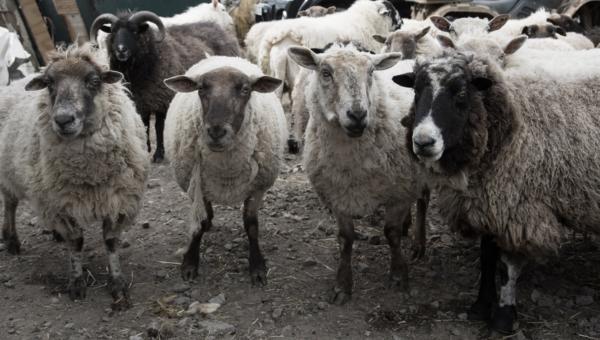 Ewes Desat