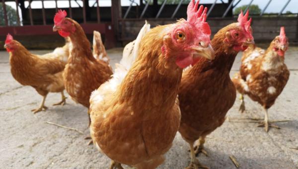 Hens2