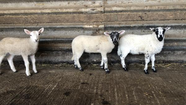 Lambs Piece