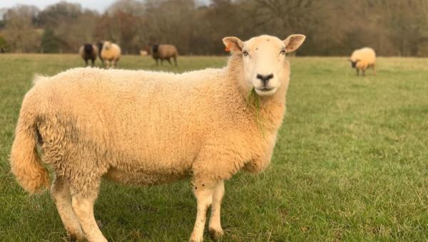 New Sheep 2019 Newsletter