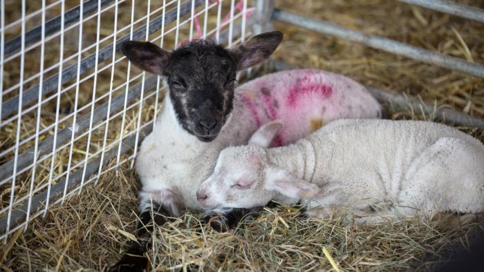 Lambs Final Copy