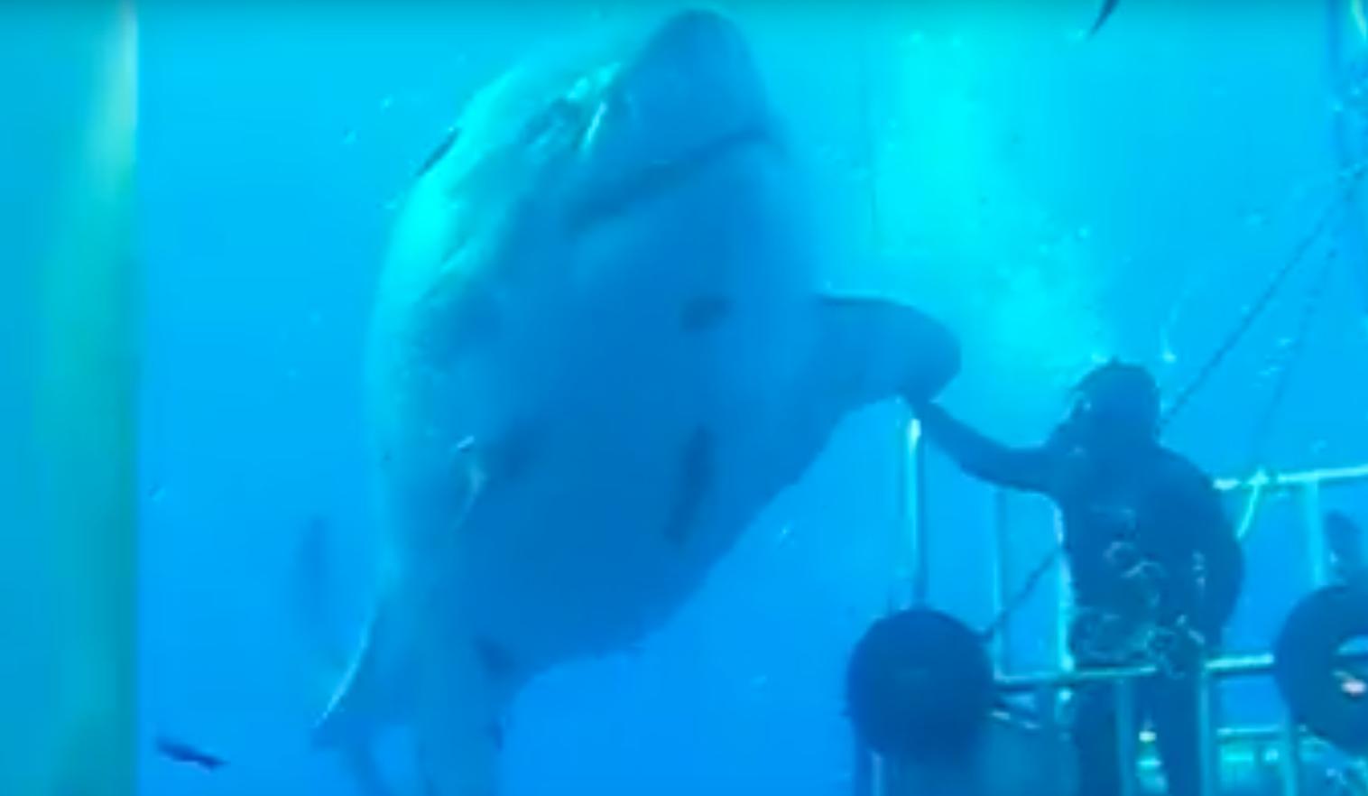 Wie Heißt Der Größte Hai Der Welt