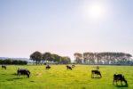 Koeien Weiland 3308 1563266620