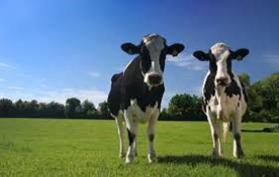 Afbeeldingsresultaat voor Melkveebedrijf Voogd