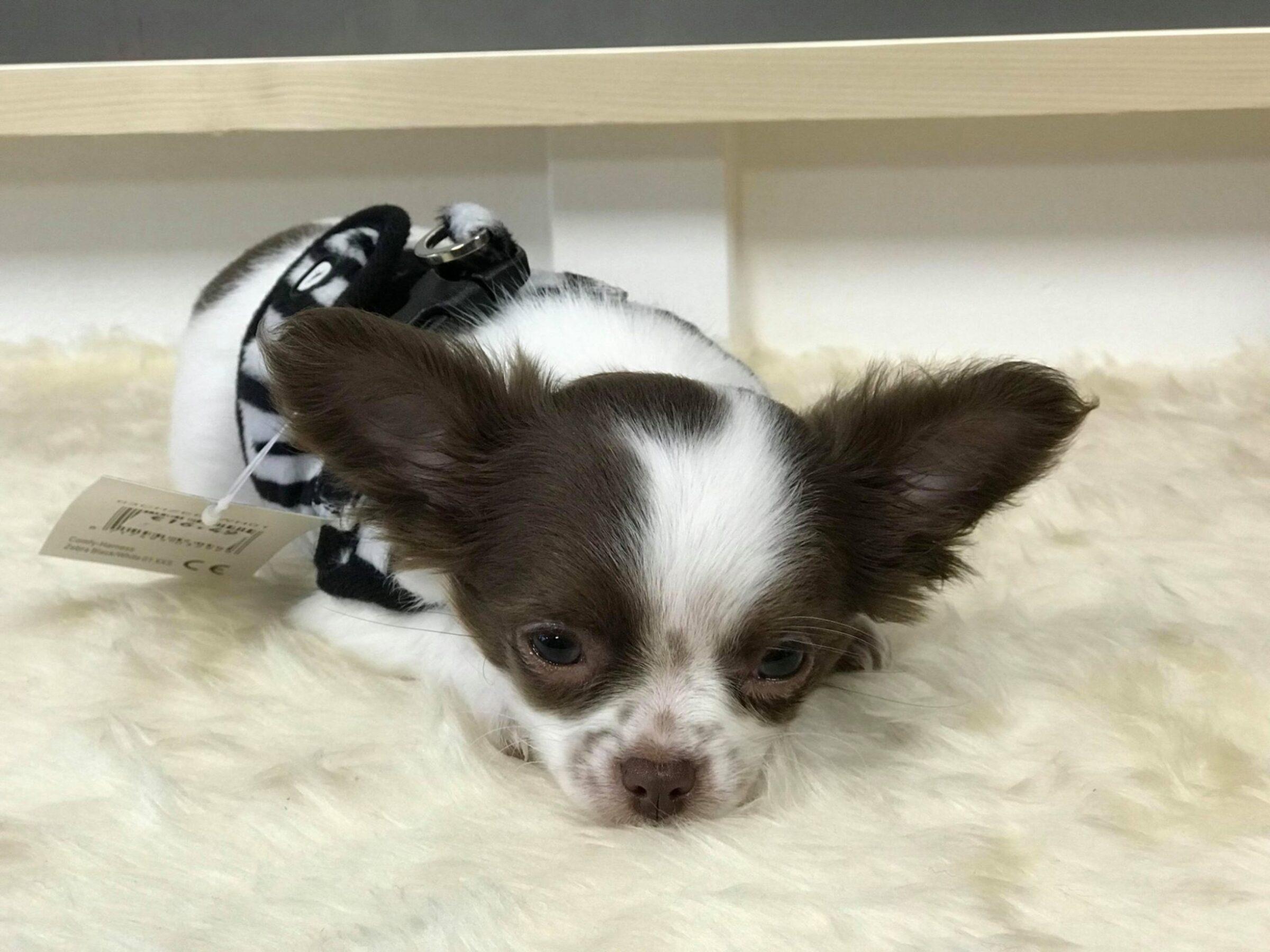 Chihuahua Shop Enschede