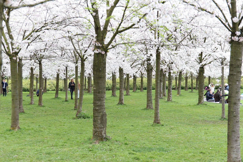 Amsterdam Travel: Visiting Kersenbloesempark