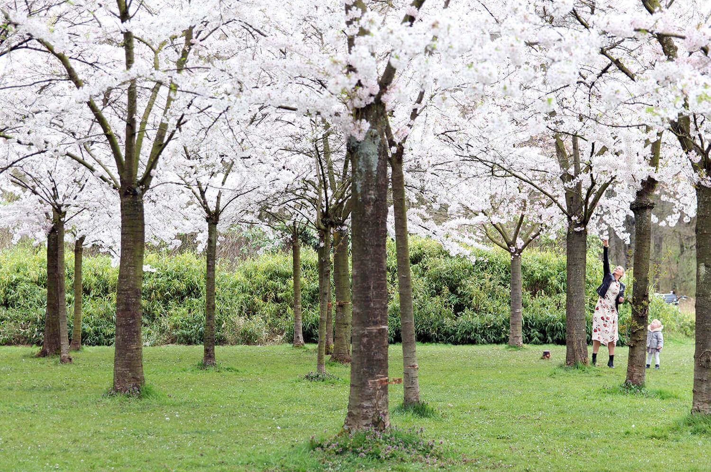 Amsterdam Travel: Find Cherry Blossom in Amsterdam