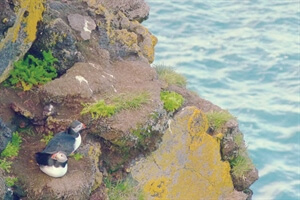 In Photos: The Puffins of the Westman Islands