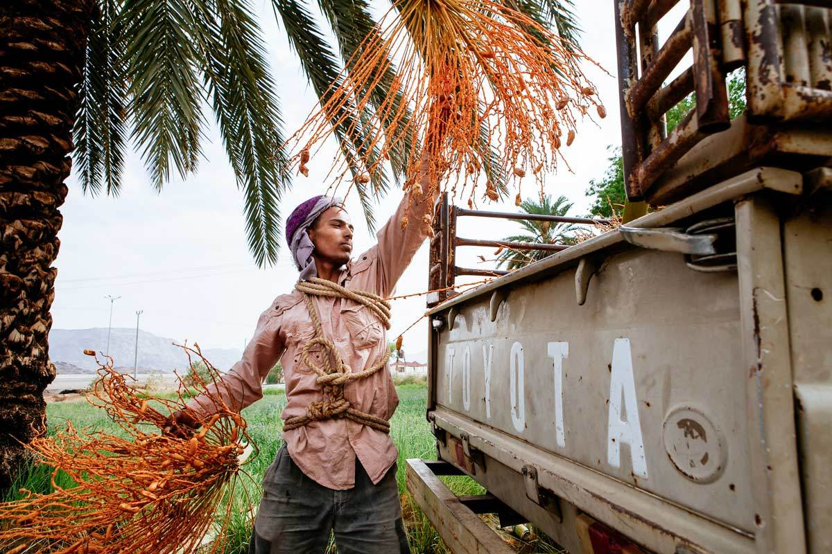 Atharna | Date Harvesting in Najran, Saudi Arabia