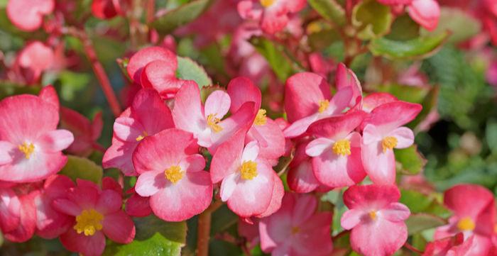 Blooming Begonias