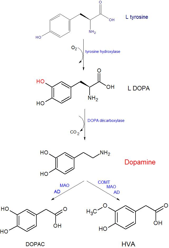 Dopamine_metabolisme