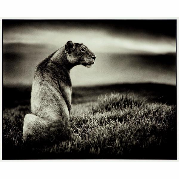 NICK BRANDT (NÉ EN1964)  - CRATER LIONESS, NGORONGORO CRATER, 2000  - Tirage aux [...]