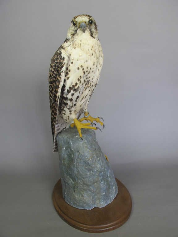 taxidermie faucon