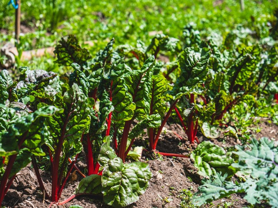 Organic root vegetables growing at a farm