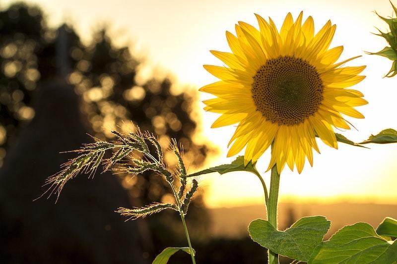 A sunflower in the sun