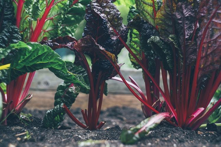 Organic beetroot growing on a farm