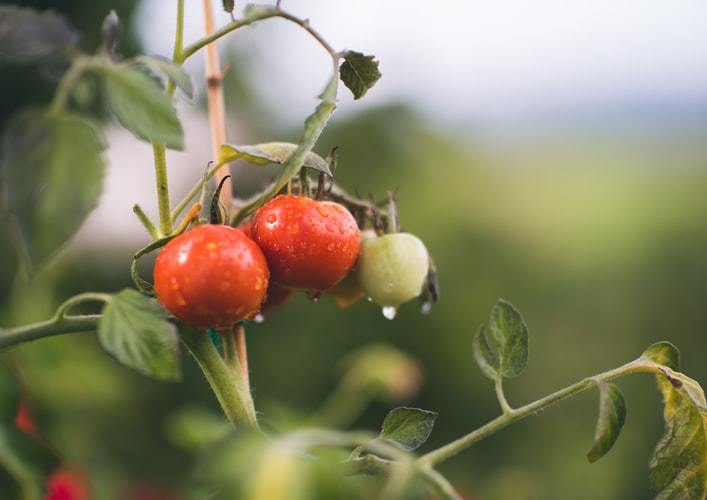 Organic tomatoes on a vine