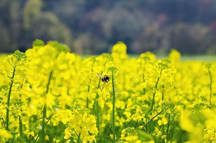 A bee on a yellow flower in an organic farm