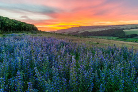 Viper's Bugloss at Sunrise by John Glover